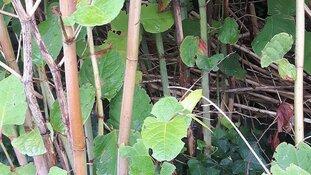 Snoeiafval Japanse Duizendknoop niet in de groene rolemmer!