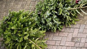 West-Friesland zamelt massaal kerstbomen in