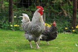 Lezing over het houden van kippen in het rundveemuseum