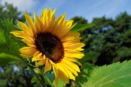 Zomerse zoektocht naar zonnebloemen