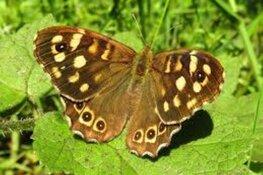 Snuffelochtend Vlinder